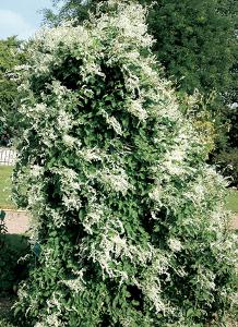 Vine Plants P3 Polygonum aubertii Silver Lace Vine Gallon Polygonum