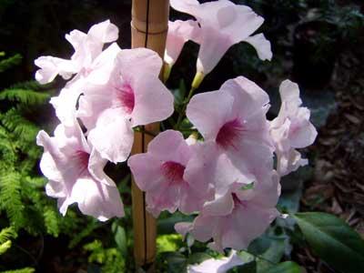 Vine seeds pandorea pandorana wonga wonga snowbells jasminoides pandorea jasminoides rosea pink trumpet vine or st johns creeper mightylinksfo