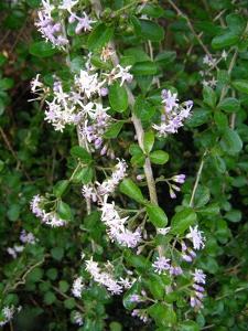 Eryngium alternatum Mexican Sea Holly 10 seeds